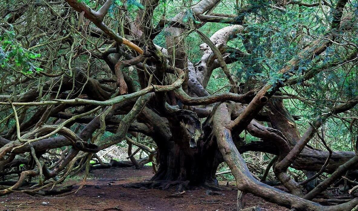 Yggdrasil Yew Kingley Vale forest